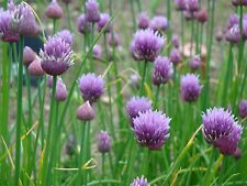 CHIVES  - onion chive herb, 10 LIVE PLANTS! GroCo Guaranteed Plant USA'
