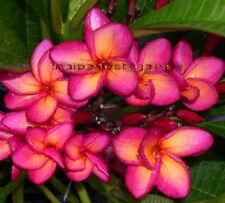 "Cutting/Grafted plumeria/Plants/""Mangkonyok""/10-12 inches"