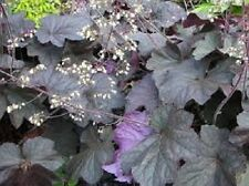 50+ Heuchera Purple Palace Flower Seeds / Micrantha / Perennial