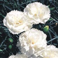 100 WHITE CARNATION Caryophyllus Grenadin Flower Seeds FRAGRANT PERENNIAL Garden