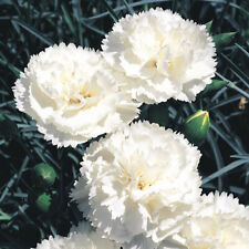 100 WHITE CARNATION Caryophyllus Grenadin Flower Seeds FRAGRANT PERENNIAL Garden