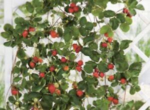 Besonderheit Hänge und Kletter Erdbeere - Immertragend - Ertragreich- Aromatisch