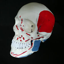 Human Skull with Painted Muscles Anatomical Medical Model - Skeleton Anatomy