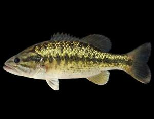 BIG Live Largemouth Bass Fish Live Fish - FARM RAISED. **FREE OVERNIGHT SHIPPING