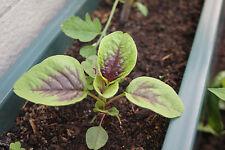 """AMARANTH """"Purple Heart""""  80 Samen  Salat Spinat Fuchsschwanz Amaranthus Tricolor"""