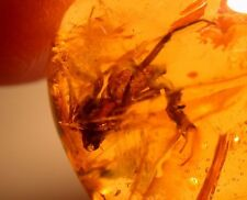 Super RARE Large Spider with Fangs Displayed in Authentic Dominican Amber