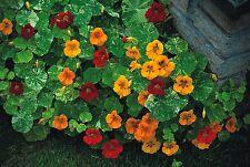 Flower - Nasturtium - Tom Thumb Alaska Mix 10 Seeds - Economy