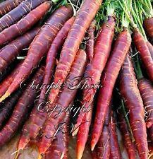 Purple Haze Carrot 100 Seeds NON Gmo gourmet heirloom vegetable all natural