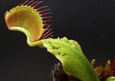 Venus Fly Trap Crested Petioles Cultivar House / Garden Plants Dionaea Muscipula