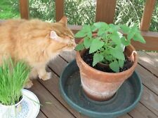 Nepeta Cataria Seeds -Catnip-Perennial Herb Felines Love -theseedhouse 50 Seeds