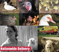 Fertile hatching eggs x 6 GUARANTEED FERTILE pure breeds
