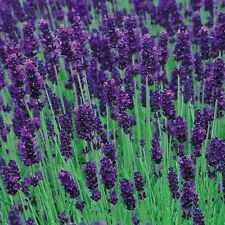 Lavender Hidcote Seeds -dense, aromatic,compact, evergreen