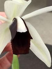 coelogyne usitana´ Black & Blanco´híbrido NUEVO Floración Fuerte Orquídea