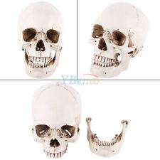 1:1 Cranio Umano Modello Anatomico Teschio Scheletro Modellino Resina Statuetta