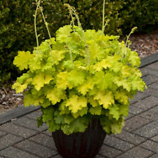 3 Rare Heuchera Lemon Love Flowering Starter Perennial Plants
