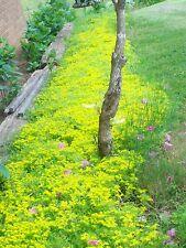 50 LIVE PLANTS Creeping Yellow Star Sedum Fast Growing Ground Cover Perennial