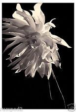 Flower/Flowers/ Poster/Art Print - White Dahlia - Black and White Poster