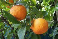 ★ ★ Winterharter Orangenbaum ★ ★ 10 Samen ''Poncitrus trifoliata'' -Bitterorange