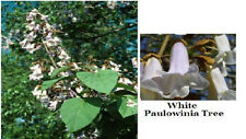 Buy 1 Get 1 Free Beautiful White Mock Flowering Paulowinia Tree Total 10 + Seeds