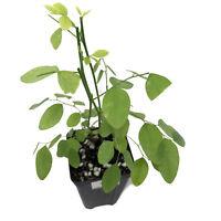 Sauropus androgynus 'Katuk' LIVE FRUIT Tree Sweetleaf Bush tropical