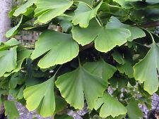 Ginkgo biloba Tree Strong in 9cm pot Disease free Hardy Medicinal memory Autumn