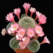 20 Cactus Seeds Indoor Multifarious Ornamental Plants. #3A