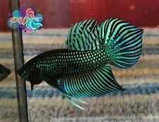 LIVE BETTA FISH BREEDING PAIR M/F GREEN MAHACHAI PHO TAIL WILD TYPE (WT25)