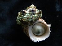Sea Shells Turbo argyrostoma 79mm ID#3831C