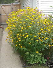 Brown eyed Susan (Rudbeckia Triloba ) Native 200+ seeds masses of flowers FALL