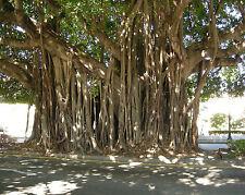 Banyan - FICUS BENGHALENSIS - 15 Seeds Bengal Tree