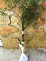 APPALACHIAN MOUNTAIN GROWN WHITE PINE TREE 5 FT STARTER TREE SEEDLING 60INCH