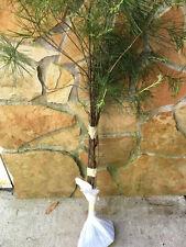 APPALACHIAN MOUNTAIN GROWN WHITE PINE TREE 5 FT STARTER TREE SEEDLING 60INCH