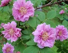10 Pink CINNAMON ROSE Bush Amur Rosa Davurica Fragrant Flower Seeds *Combined SH