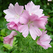 MALVA MOSCHATA (MUSK MALLOW) - WILD FLOWER - 2500 SEEDS - bulk pack 5 grams