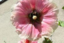 Stockrose Alcea 150 Samen Heilpfl. Stockmalve Bauerngarten viele schöne Farben