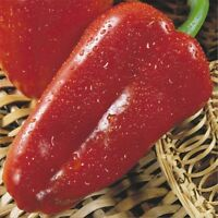 Seeds Sweet Pepper Atlant Bell Red Vegetable Organic Heirloom Russian Ukraine
