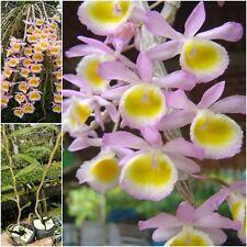"""Thai Orchid 1 Plants Dendrobium size 1"""" In Pot (Dendrobium primulinum Laos) Pink"""
