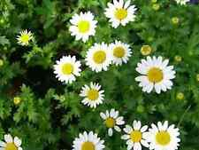 """CHAMOMILE SEEDS """"GERMAN"""" (APPROX 400 SEEDS)"""