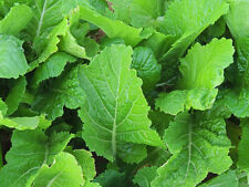 2# Fla. Broadleaf Mustard pure fresh seed deer food plot or forage wildlife seed