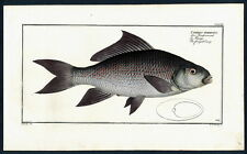 1782 BLOCH'S FISHES Cyprinus fimbriatus – Der Fransenmund – Le Frangé – The frin
