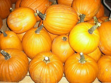 100 Sugar Pie Pumpkin Seeds 6-8 pounds