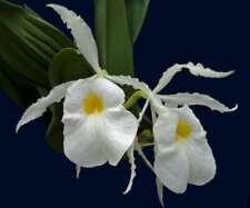 Trichopilia fragrans species Orchid Plant