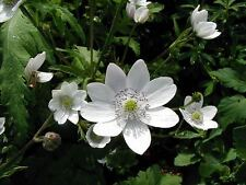 3 plugs Anemone leveillei Woodland shade Early summer White flowers Rare plants