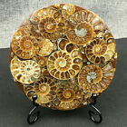Natural Ammonite Disc Fossil Conch Specimen Healing +Stand 1PC