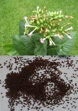 NICOTIANA TABACUM-Louisiana PERIQUE - 50+ Semi di Tabacco-Regno Unito