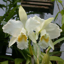 Rare orchid species seedling plant - Cattleya mossiae alba