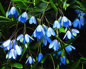 SOLLYA HETROPHYLA  BLUE   CLIMBING BELL  evergreen CLIMBER ..9cms pot