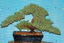 Bonsai EX Large Japanese Dwarf Juniper Tree   GREAT GIFT ! # 29