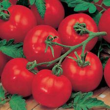 Tomato Alicante 500 seeds - BULK ORGANIC / NON GMO