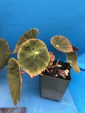 Begonia Marie Reed 2 Inch Divisions Garden Shade Plant Windowsill Easy Care